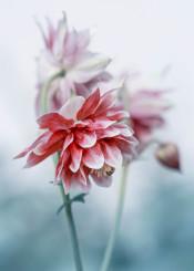 columbine red flower spring bloom bud plant garden nature petals delicate floral flowers pretty feminine