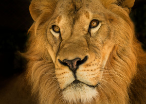 lion animal king africa gold male mammal majestic closeup portrait face golden cat feline wildlife
