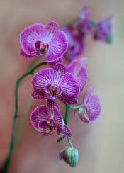 orchid flowers pink petals floral photography blaminsky delicate plant bloom pretty beautiful bud smell fresh branch patterns