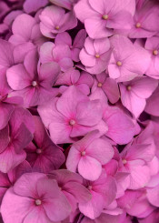 hydrangea pink flower petals macro details pretty soft floral plant blaminsky photography nice close flowers many nature garden pattern