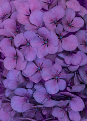 hydrangea hortensia purple flower closeup macro petal petals detailed pattern natural pretty blaminsky photography