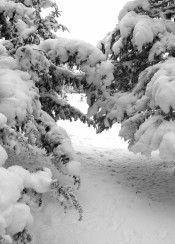 under cover thick show frost christmas tree trees winter path