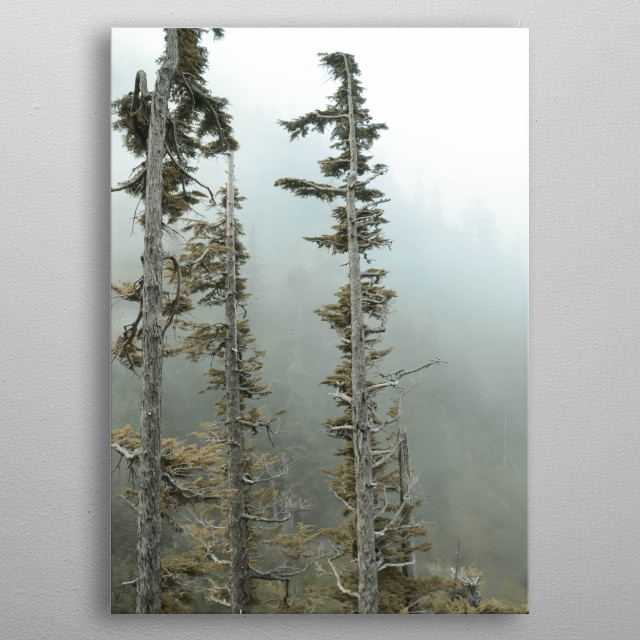 Windswept Trees on a Foggy Morning - Taken at Mt. Rainier metal poster