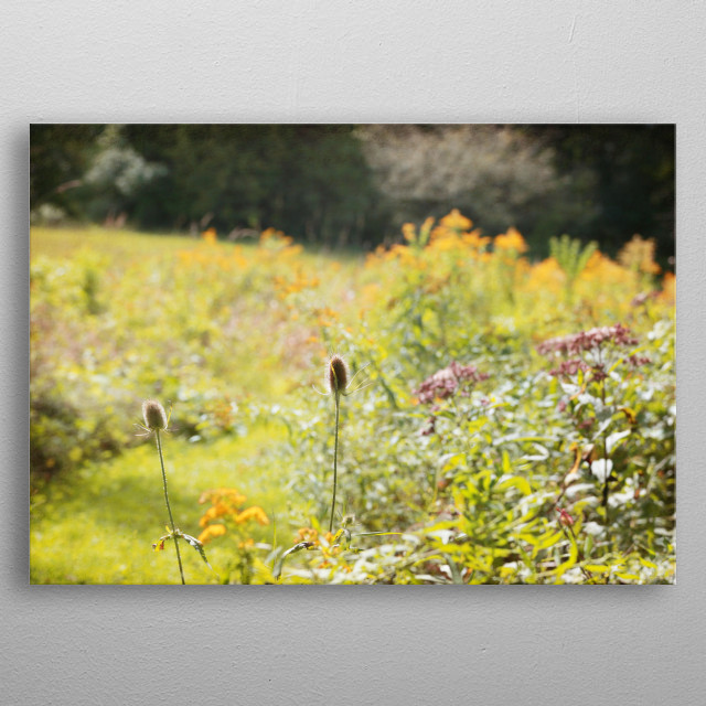 Mustard yellow Goldenrod, lavender Joe Pye Weed, and Teasel dominate in this sunny field.  metal poster