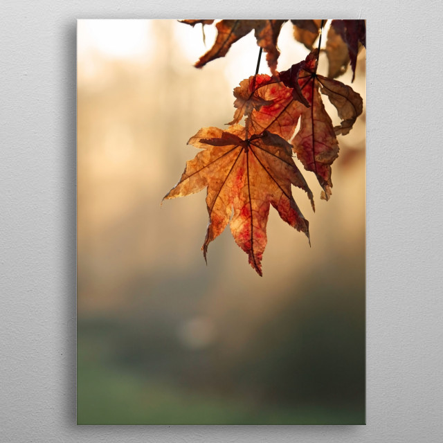 Nature photography featuring Japanese Maple leaves in fall colors of rust and brown. The background is illuminated by the morning sun. metal poster