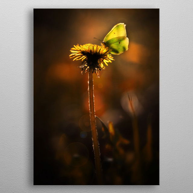 Evening impression with yellow butterfly metal poster