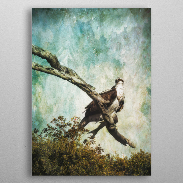 Osprey with his captured fish perched on bare tree branch with textured background metal poster