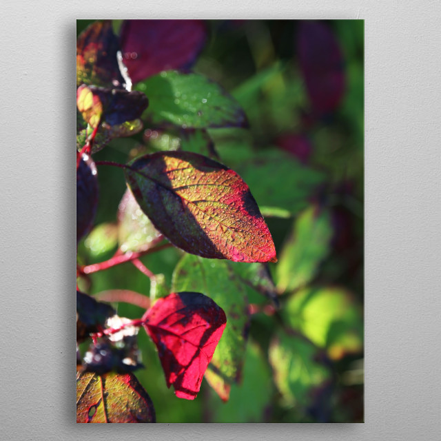 A dappled red leaf contrasts against green foliage in the background. Sunlight illuminates water droplets on the back of the leaf. metal poster