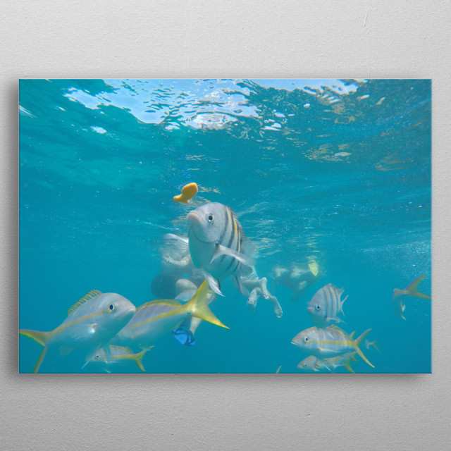 A picture I took underwater while snorkeling in the keys. Someone was throwing goldfish and I had the camera in front of me taking bursts shot and I was lucky and got this awesome shot out of it. metal poster