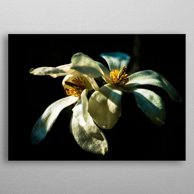 White magnolia flowers by graphix displate metal posters displate white magnolia flowers metal poster mightylinksfo