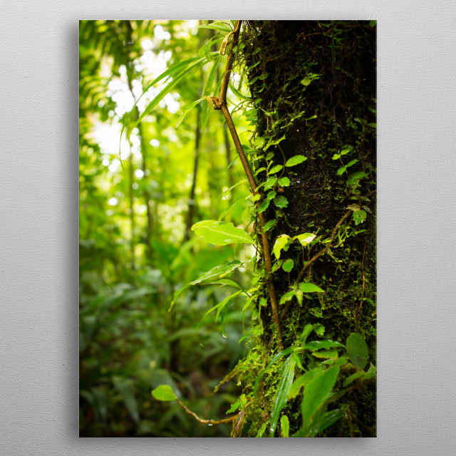 Close up of a damp tree trunk covered in moss and plants in jungle of Costa Rica.  metal poster