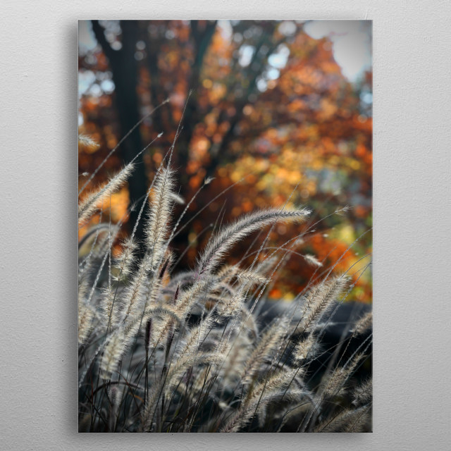 Grasses illuminated by afternoon sunlight have a backdrop of leaves in fall colors of rust, orange, and golden yellow. Photographed in Central Park, New York City on Thanksgiving Day. metal poster