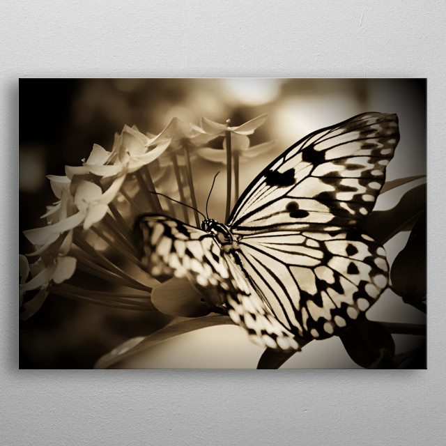 The Malabar Tree-nymph is a large butterfly found in peninsular India that belongs to the danaid group of the family Nymphalidae.   Wildlifer... metal poster