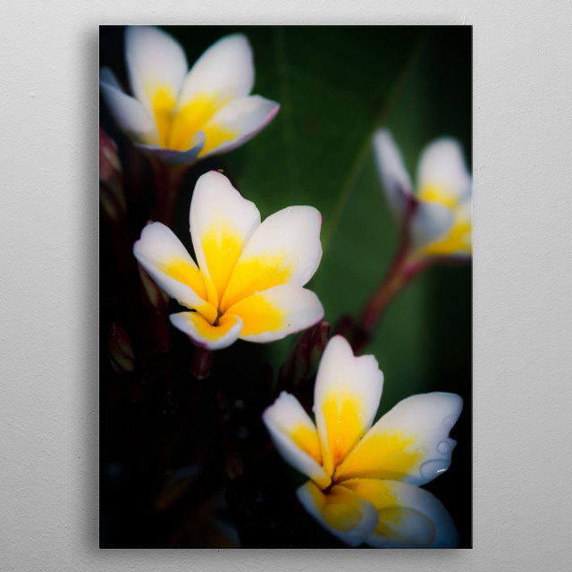 Plumeria in yellow/white with some rain drops metal poster