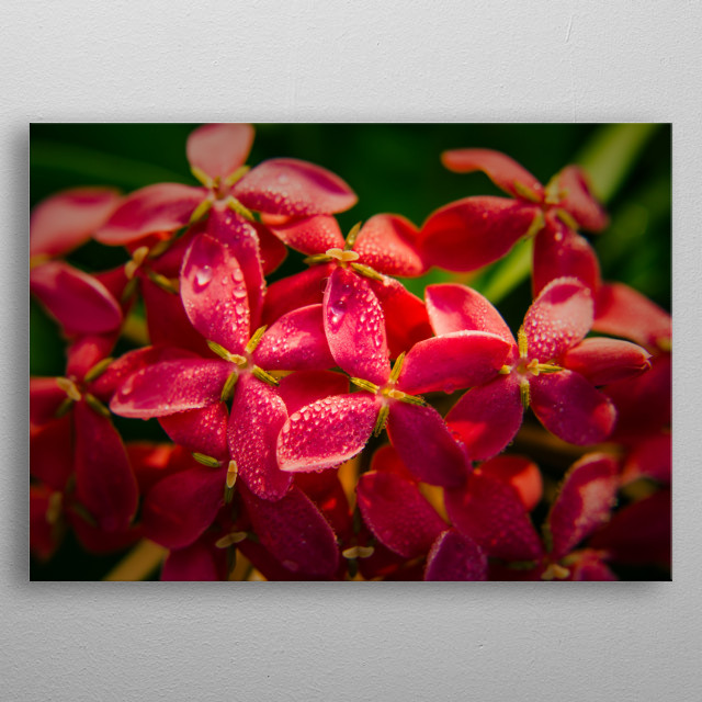 Morning drew on Ixora metal poster