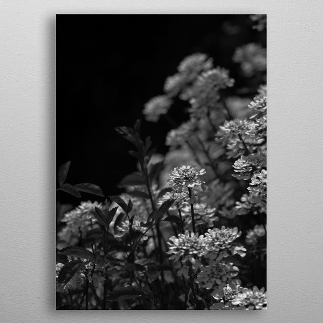 Black and white photo of Edelweiss blossoms photographed in Halstatt, Austria.  metal poster