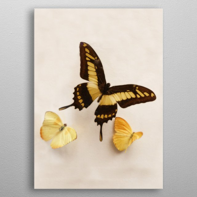 A yellow and black swallowtail butterfly flutters with two soft yellow - gold friends. Perfect for gender neutral nursery decor or a girl's bedroom. metal poster