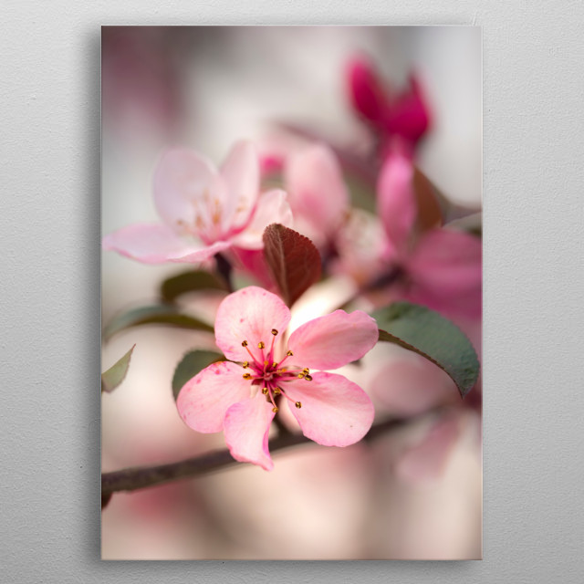 Cherry Blossoms metal poster