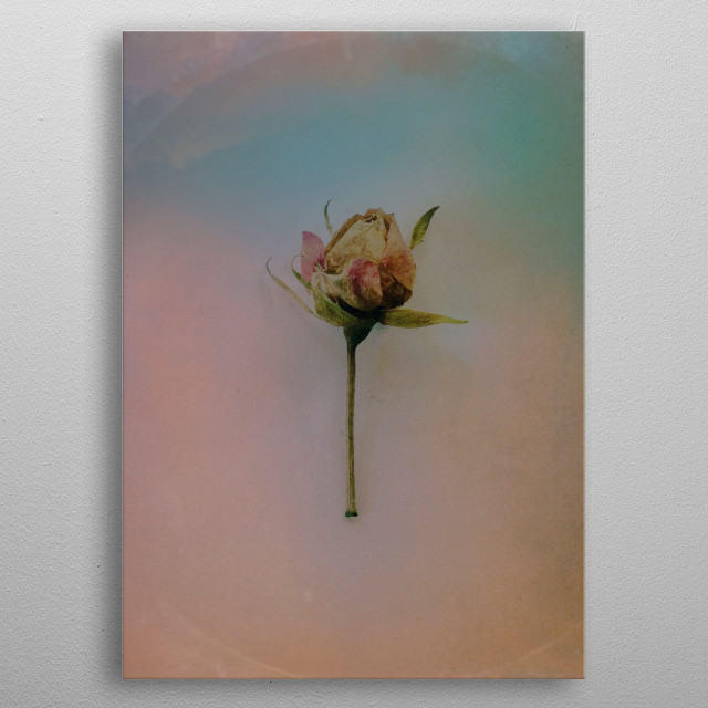 I found this little rose abandoned in the street, and her beauty captivates me, so here she is. metal poster