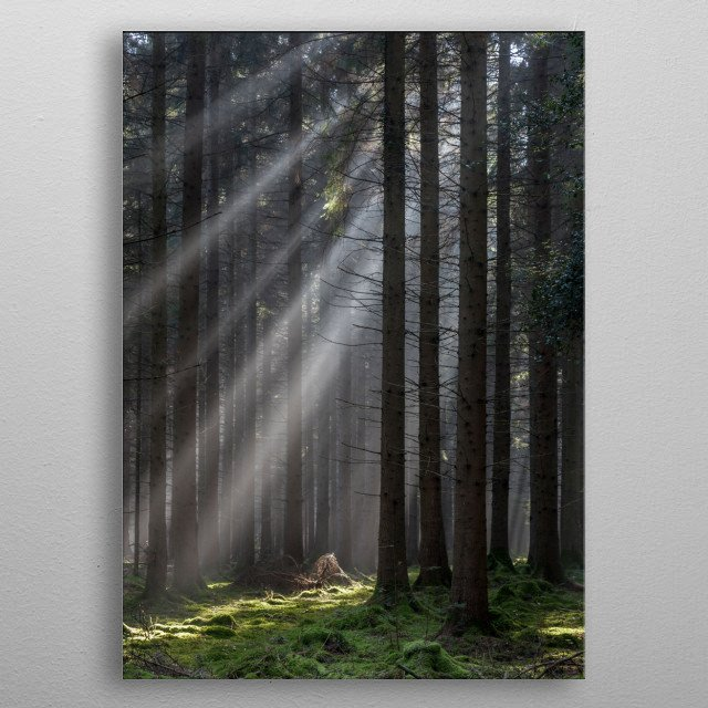 Early morning sun casting shafts of sunlight through the trees in spruce woodland close to Speech House in the Forest of Dean. Gloucestershire, UK. metal poster