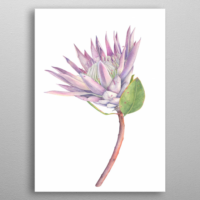 King Protea Flower Botanical Illustration with watercolors metal poster