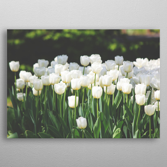 Field of White Tulips metal poster