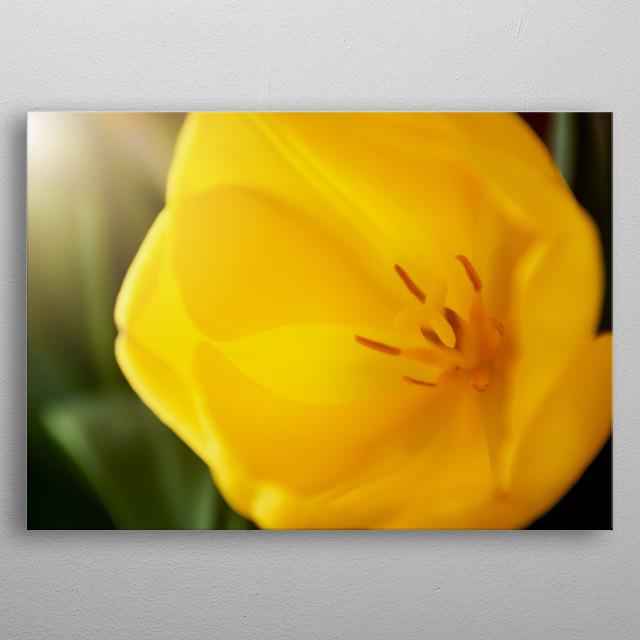 Close up Yellow Tulip metal poster