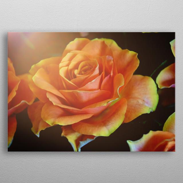 Orange Rose metal poster