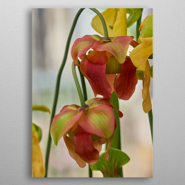 nepenthes carnivorous plant in the garden metal poster