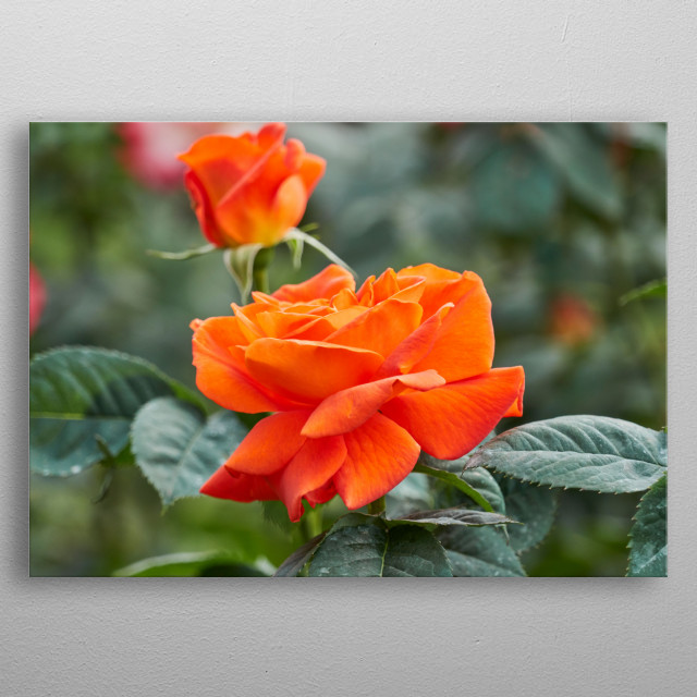 roses in bloom in the garden metal poster