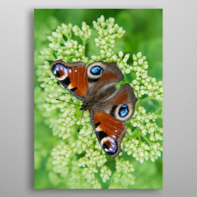 Pretty peacock butterfly closeup metal poster