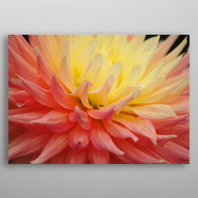 Pink & Yellow Chrysanth metal poster