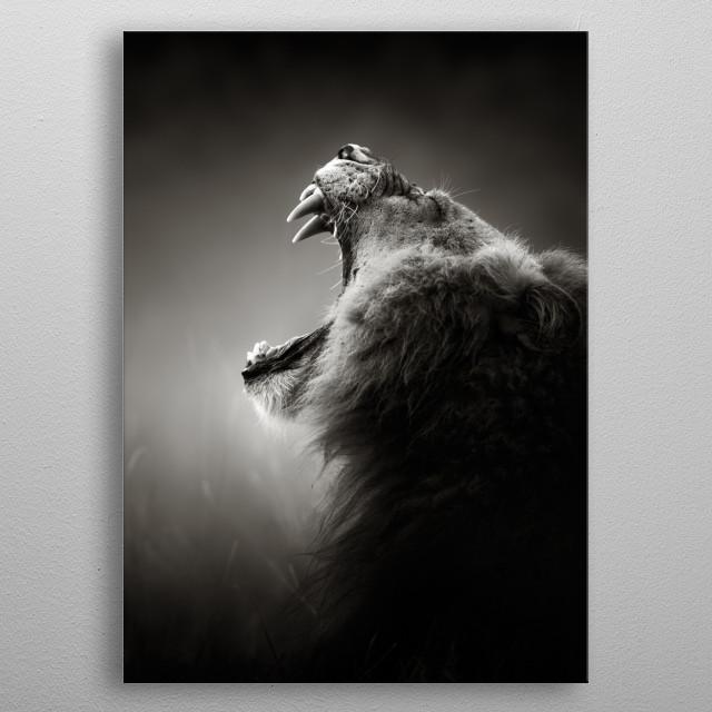 Lion displaying teeth metal poster