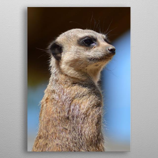 Meerkat keeping watch! metal poster