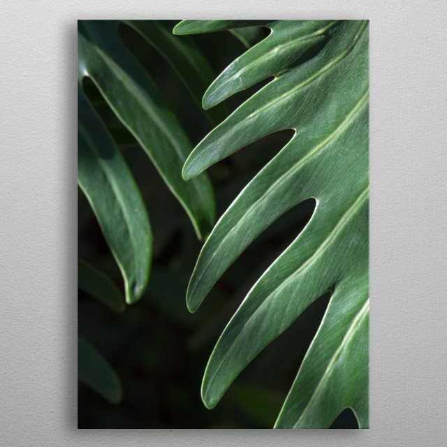 This abstract tropical photo features glossy dark green leaves which contrast against a black background. metal poster