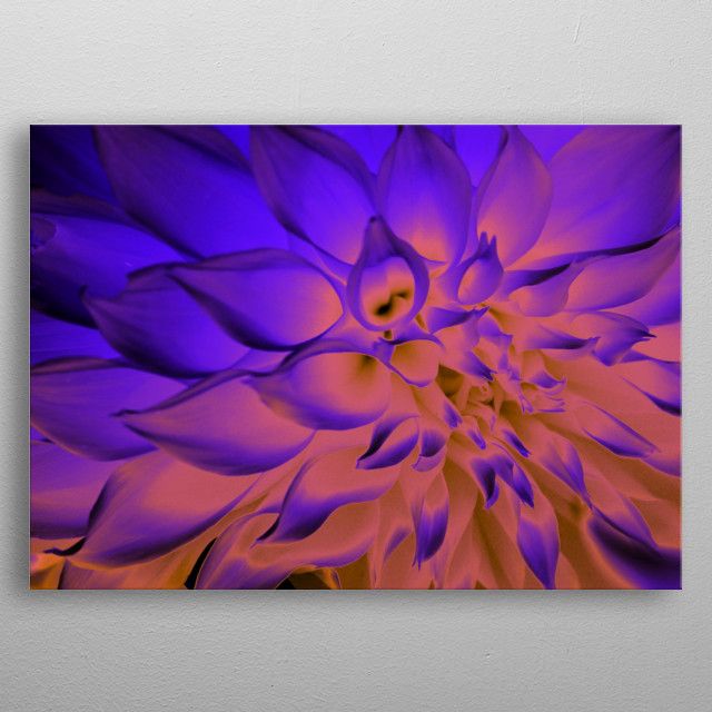 A dinner plate Dahlia full of blue, purple, pink, and yellow appear almost abstract, almost cosmic, but definitely graphically stunning.  metal poster
