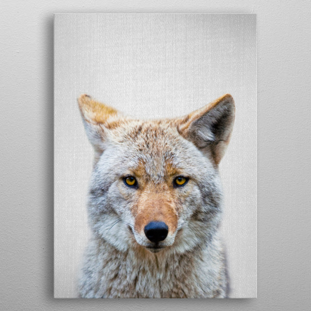 "Coyote - Colorful. For more colorful animals check out the collection in the main page of my shop ""Gal Design"". metal poster"