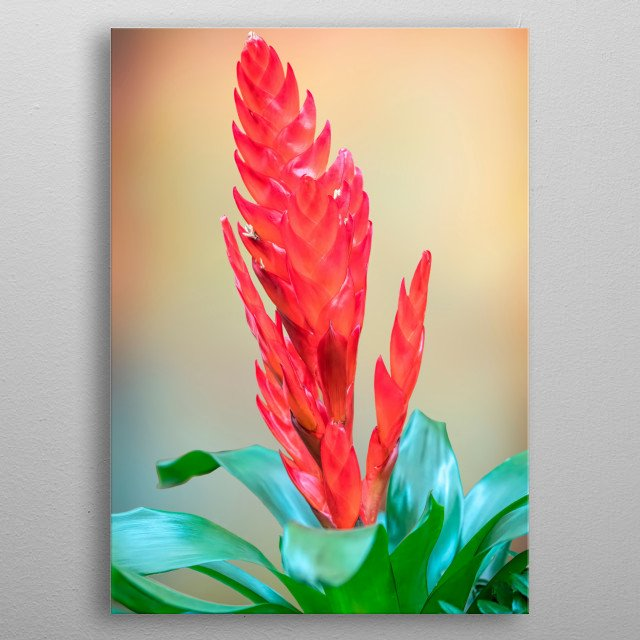 isolated vriesea carinata flower on texture background metal poster