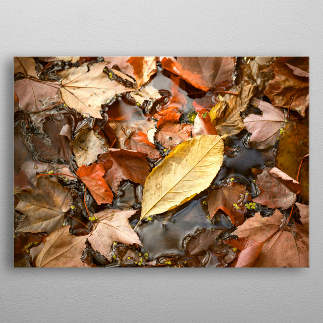 This nature photography features a mustard yellow leaf laying among brown and copper fall leaves in a marsh in central New York state.  metal poster