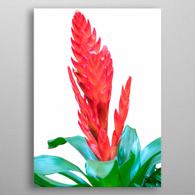 isolated vriesea carinata flower on white background metal poster
