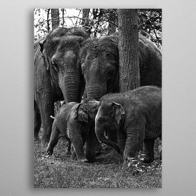 A family of Elephants grouping together metal poster