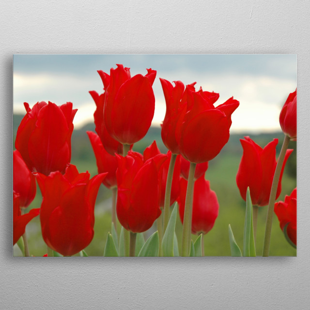 Gorgeous bright red tulips  metal poster