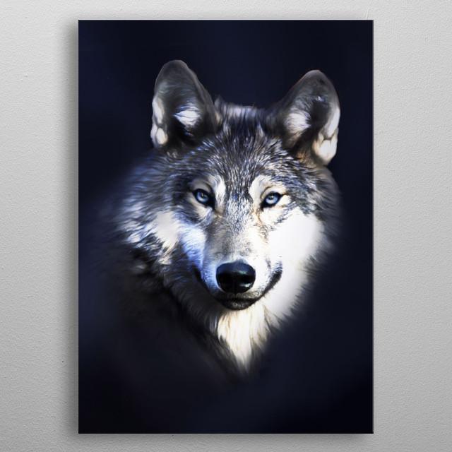 Blue eyed wolf portrait; metal poster