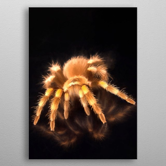 Painting of a red kneed tarantula metal poster