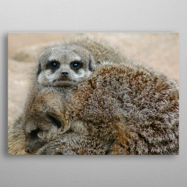 Meerkats piled on top of each other sleeping whilst the top one keeps watch. metal poster