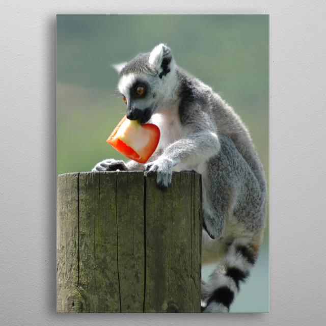 Mischievous baby lemur at Peak Wildlife Park near Leek in Staffordshire. metal poster