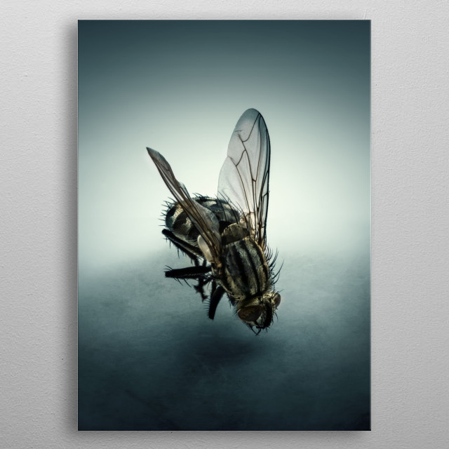 Closeup of a common fly. metal poster