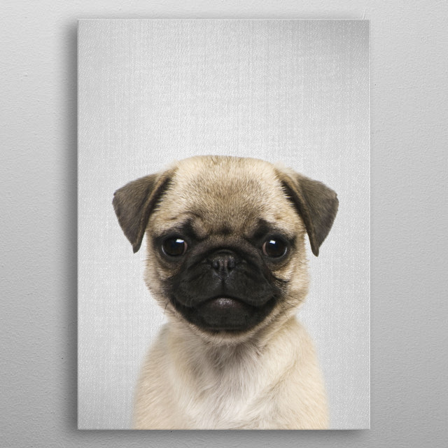 """Pug Puppy - Colorful.  For more colorful animals check out the collection in the main page of my shop """"Gal Design"""". metal poster"""
