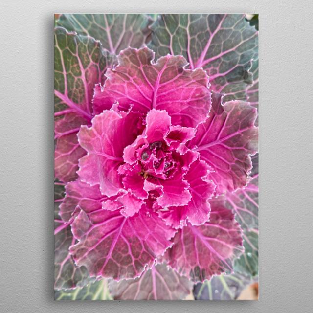 Brassica oleracea plant, ornamental cabbage in the garden metal poster