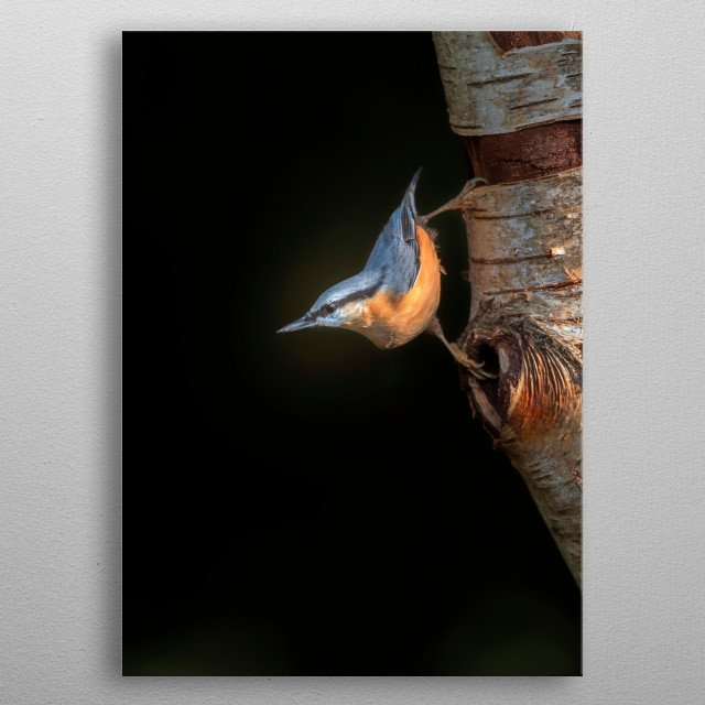 Nuthatch bird clinged to a birch tree trunk. metal poster